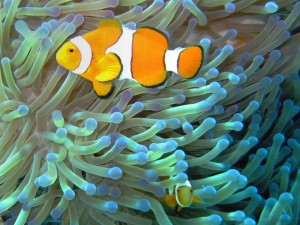 In a symbiotic mutualistic relationship, the clownfish feeds on small invertebrates that otherwise have potential to harm the sea anemone, and the fecal matter from the clownfish provides nutrients to the sea anemone. The clownfish is additionally protected from predators by the anemone's stinging cells, to which the clownfish is immune. Also, the clownfish emits a high pitched sound that deters butterfly fish, which would otherwise eat the anemone.